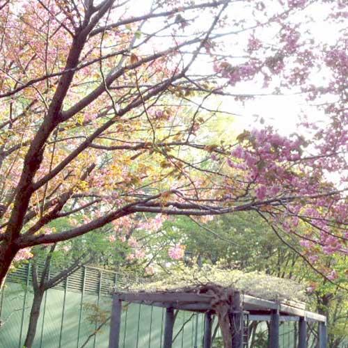 桜咲く通り☆